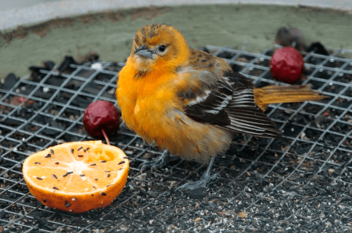 Dalam pemeliharan Burung Kenari pakan menjadi salah satu hal terpenting agar kesehatan kenari tetap terjaga dan menghasilkan kicauan yang bagus | Pakan Kenari