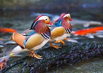 Bebek Mandarin Image