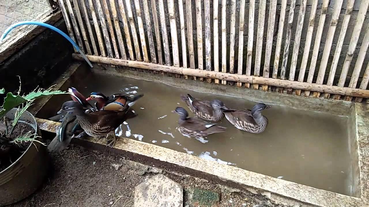 Kandang bebek mandarin bisa di beri kolam kecil untuk berenang