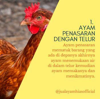 1. Ayam Penasaran dengan telur