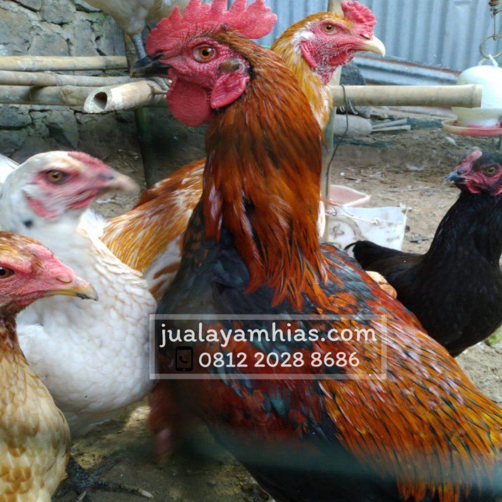 Pejantang Ayam Joper bisa tumbuh dengan berat yang cukup bagus
