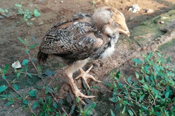 Karena musim hujan dan udara menjadi lembab, kerap kali ayam menjadi sakit cacingan