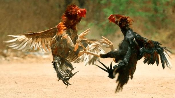Banyak cara agar ayam-ayam yang kita pelihara tidak saling berantem atau bertarung, informasi diatas adalah beberapa caranya