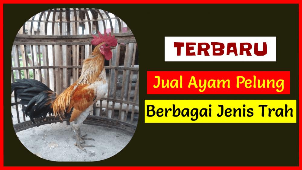 Jual Ayam Pelung Berbagai Trah