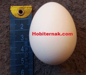 Telur Ayam Batik Kanada Image