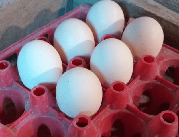 Telur Ayam Brahma