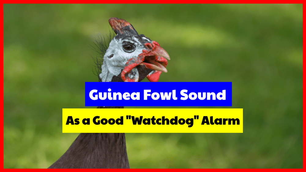 Guinea Fowl Sound, as a good watchdog alarm