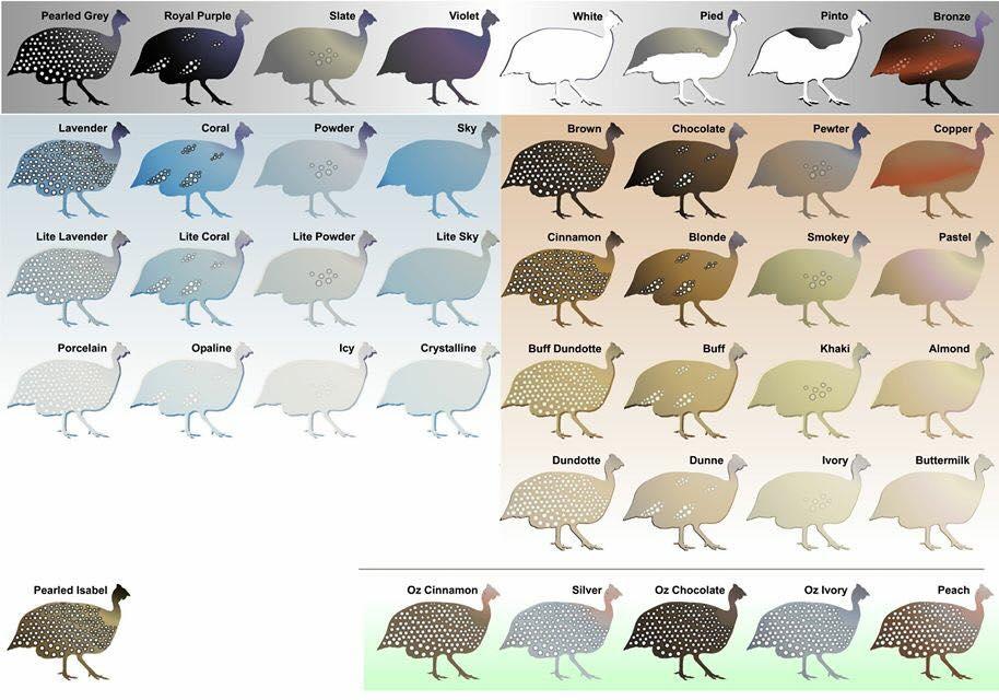 Guinea fowl colors