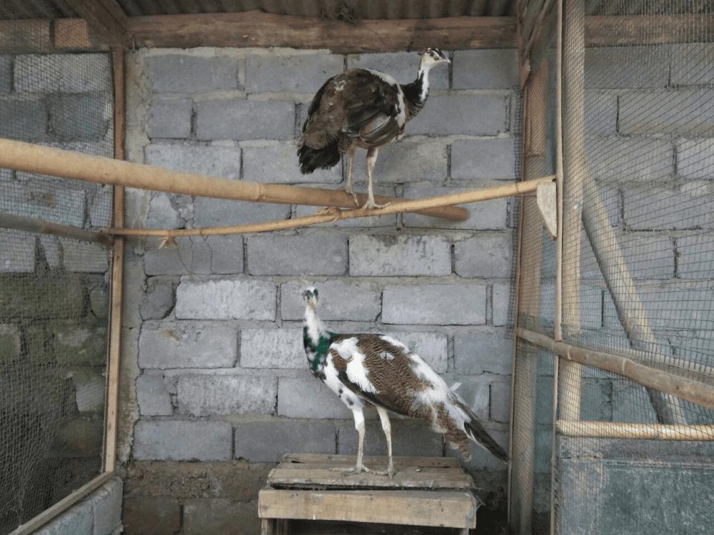 Merak Plangkok 1 jual burung merak Jual Ayam Hias HP : 08564 77 23 888 | BERKUALITAS DAN TERPERCAYA jual burung merak Jual Burung Merak yang Siap di Ternakan