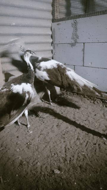 Merak Plangkok 2 jual burung merak Jual Ayam Hias HP : 08564 77 23 888 | BERKUALITAS DAN TERPERCAYA jual burung merak Jual Burung Merak yang Siap di Ternakan