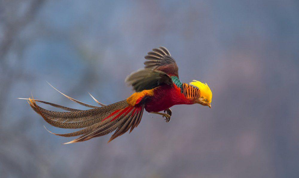 Golden pheasant flying c1.staticflickr.com