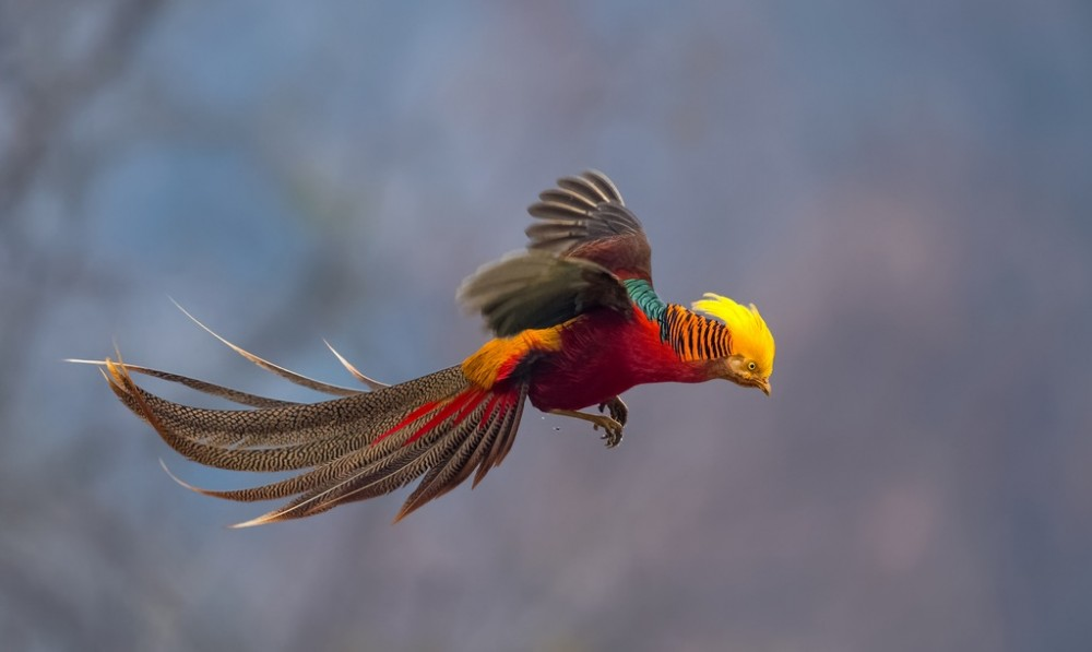 Altough pheasants are able to fly fast for short distance, they prefer to run. However, if they are startled, they will burst to the sky in a 'flush'. | Flying Golden Pheasant