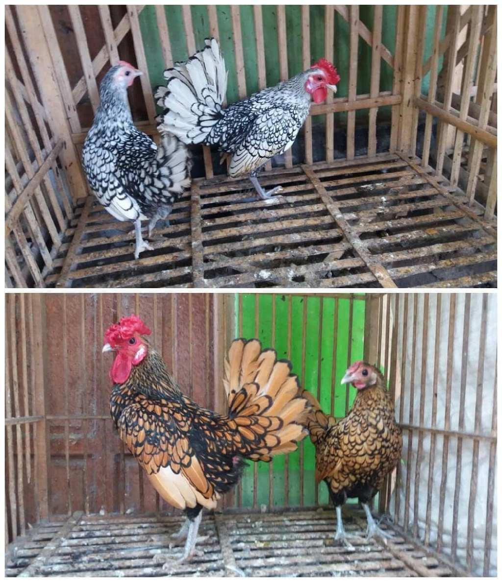 Ayam Batik Itali dan Kanada