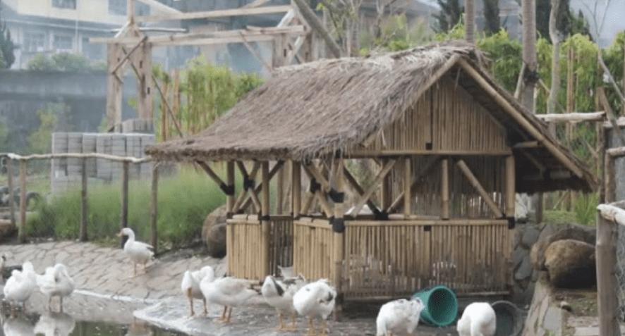 Tempat berteduh Angsa ternak angsa Jual Ayam Hias HP : 08564 77 23 888 | BERKUALITAS DAN TERPERCAYA ternak angsa 10 Point Penting Cara Mudah Beternak Angsa Putih