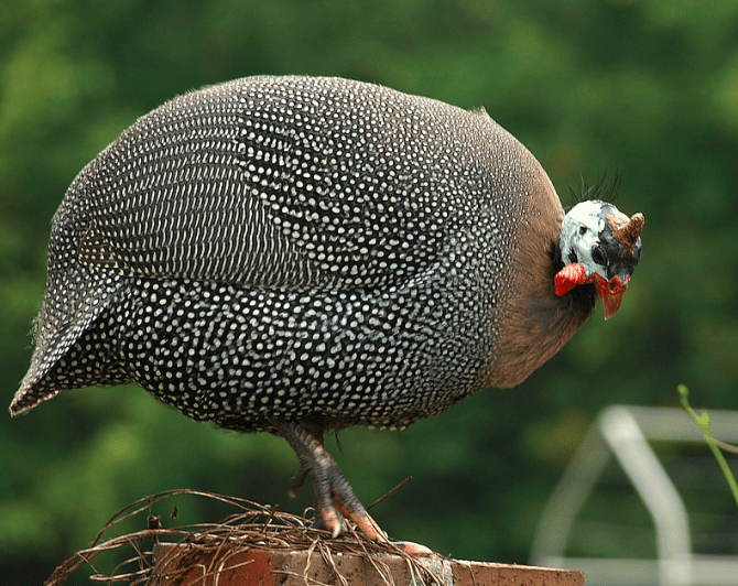 A beautiful pearl guinea fowl, type of common guinea fowl that loved by many people.