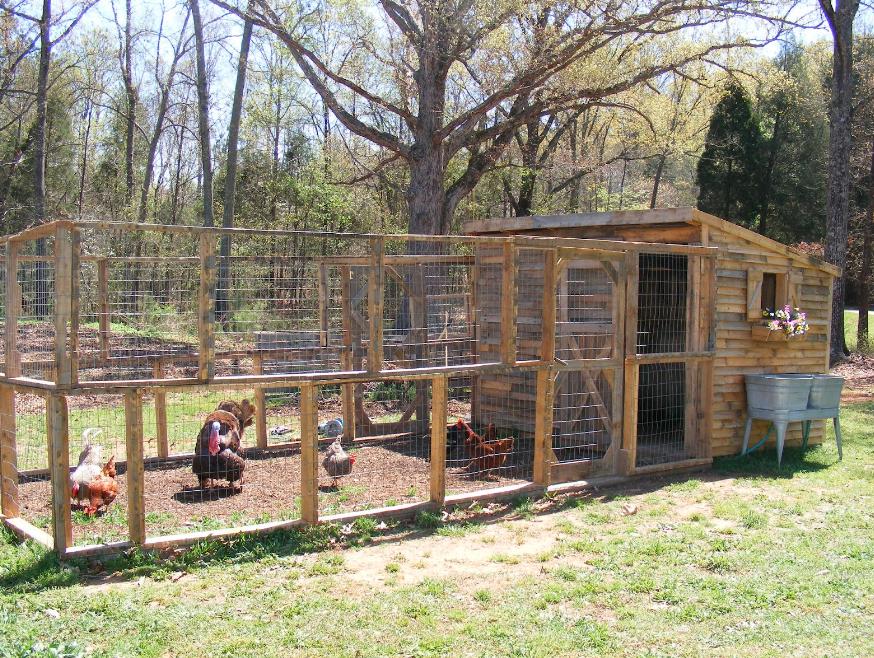 Ayam Kalkun pada umumnya lebih suka diumbar di luar kandang | Kandang Kalkun