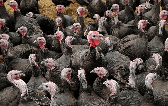 Ayam Kalkun saat ini banyak diternakkan untuk hiasan maupun sebagai penghasil daging | Ayam Kalkun