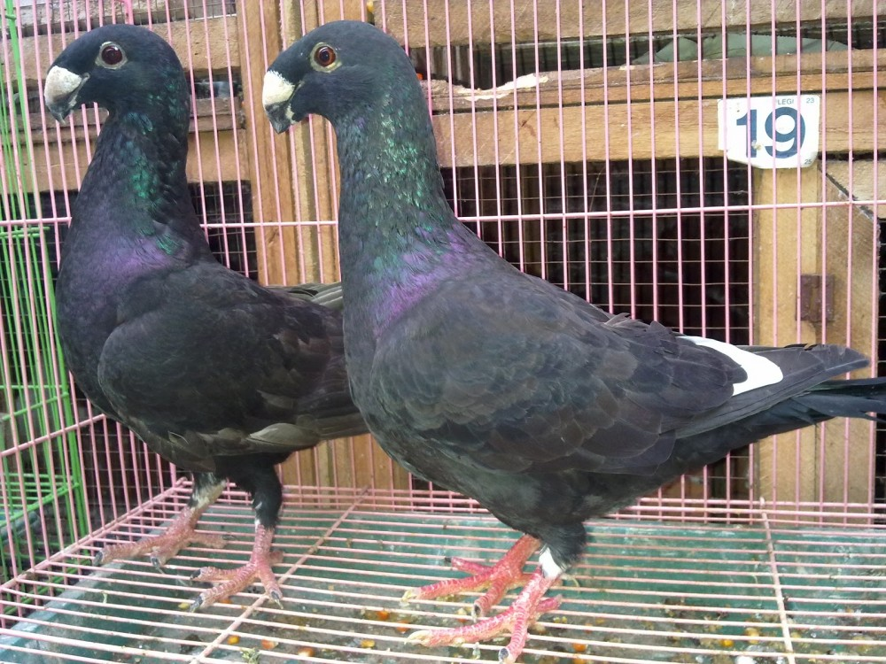 Foto German beauty homer atau GBH hitam (import)
