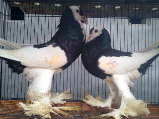 Gondok reversewing migpie pouter hitam