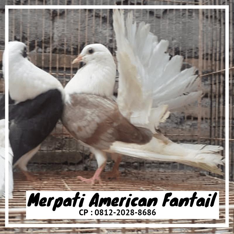 Jual Burung Merpati American Fantail (Kipas)