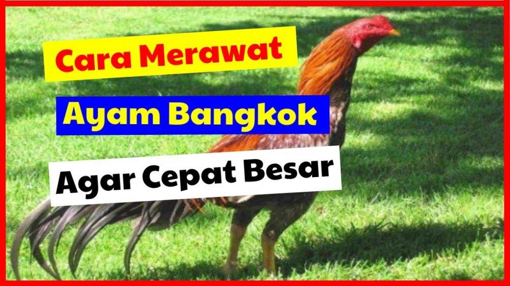 cropped cara merawat ayam bangkok agar cepat besar ayam bangkok Jual Ayam Hias HP : 08564 77 23 888 | BERKUALITAS DAN TERPERCAYA ayam bangkok Cara Merawat Ayam Bangkok Agar Cepat Besar