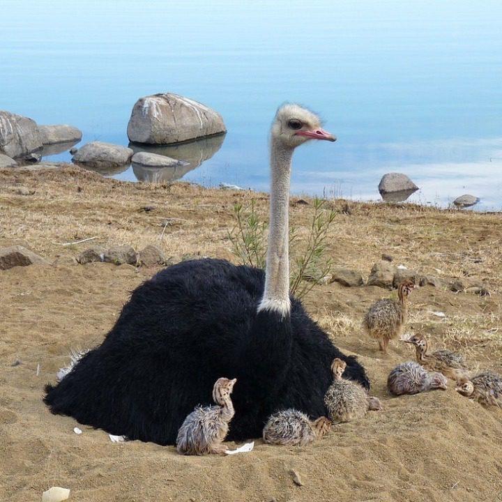 Burung Unta