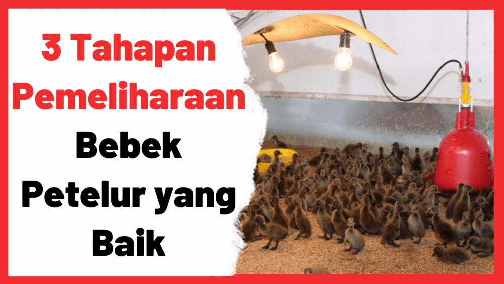 3 Tahapan Pemeliharaan Bebek Petelur yang Baik | Cover