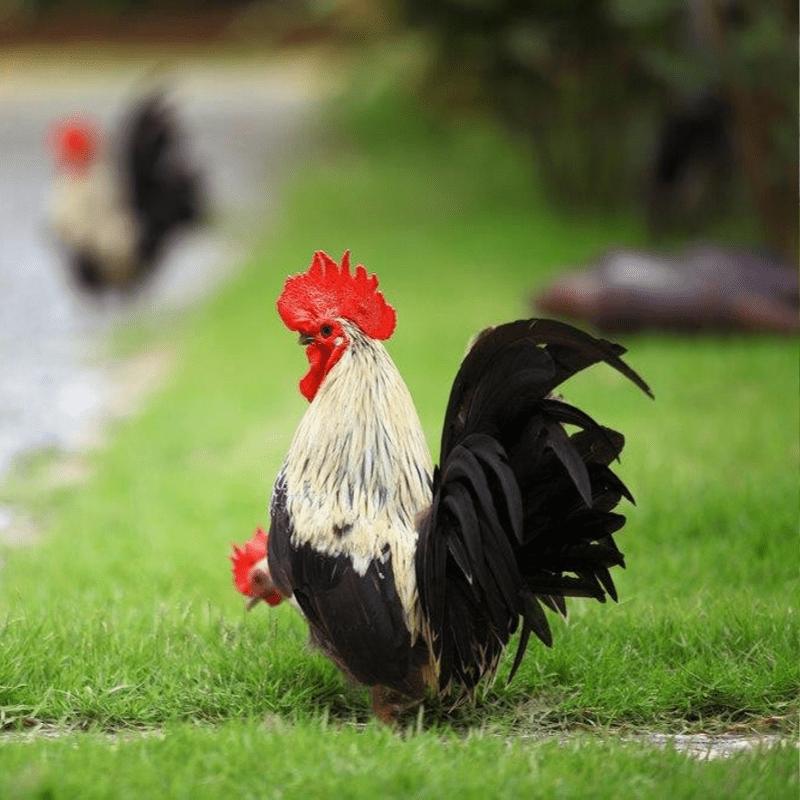 Ayam Kate memiliki postur tubuh yang kecil dan pendek | Ayam Kate