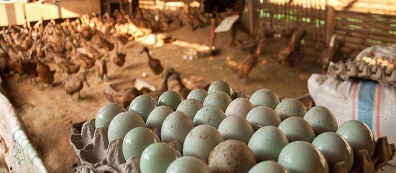 Produktifitas telur bebek akan semakin meningkat jika menejemen pemeliharaan dalam hal pakan tercukupi dengan baik | Telur Bebek