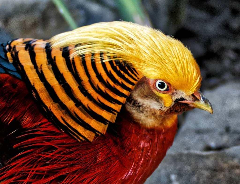 81045370 460960458142532 2410598695800266894 n Jual Golden Pheasent atau Ayam Pegar Tibet Jual Ayam Hias HP : 08564 77 23 888 | BERKUALITAS DAN TERPERCAYA Jual Golden Pheasent atau Ayam Pegar Tibet Jual Golden Pheasent atau Ayam Pegar Tibet