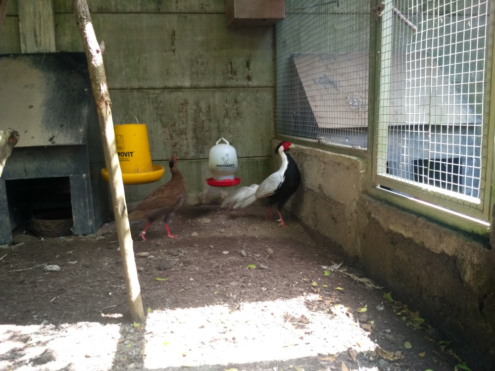 IMG 20200124 094134 HDR 1 Beternak Ayam Silver Pheasant yang Eksotik Jual Ayam Hias HP : 08564 77 23 888   BERKUALITAS DAN TERPERCAYA Beternak Ayam Silver Pheasant yang Eksotik Beternak Ayam Silver Pheasant yang Eksotik