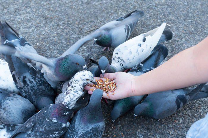 Makanan kesukaan dari burung merpati yaitu biji-bijian salah satunya jagung