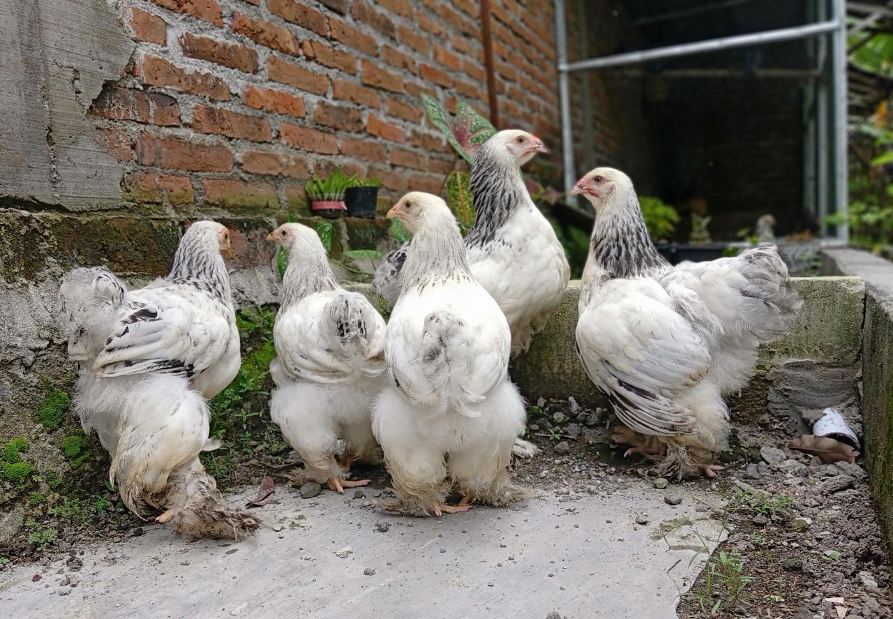Untuk postur tubuh ayam brahma betina memilki ukuran yang relatif lebih kecil dibanding ayam brahma jantan | image 2
