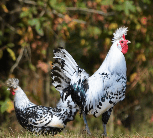 Appenzeller Spitzhauben has a beautiful feather color, and they are one of the best laying hens.