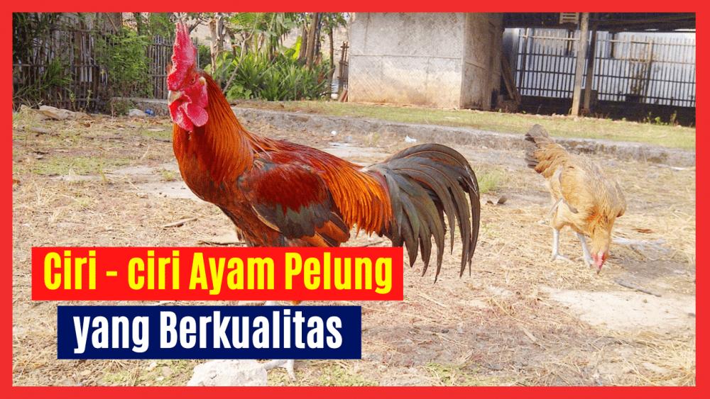 Sebelum Membeli Ayam Pelung Anda perlu mengetahui Ciri - ciri Ayam Pelung yang Berkualitas