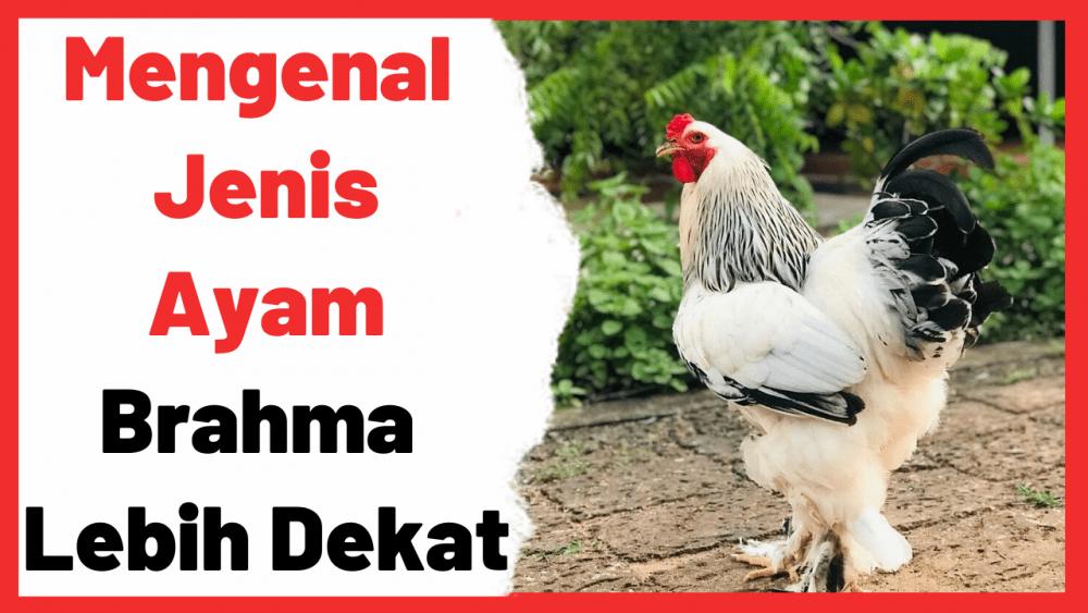 Mengenal Jenis Ayam Brahma Lebih Dekat | Cover