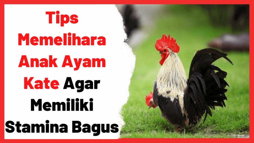 Tips Memelihara Anak Ayam Kate Agar Memiliki Stamina Bagus | Cover