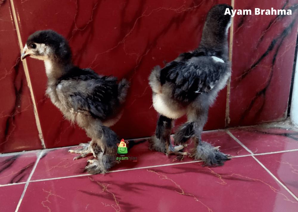 Ayam Brahma Usia 1 Bulan