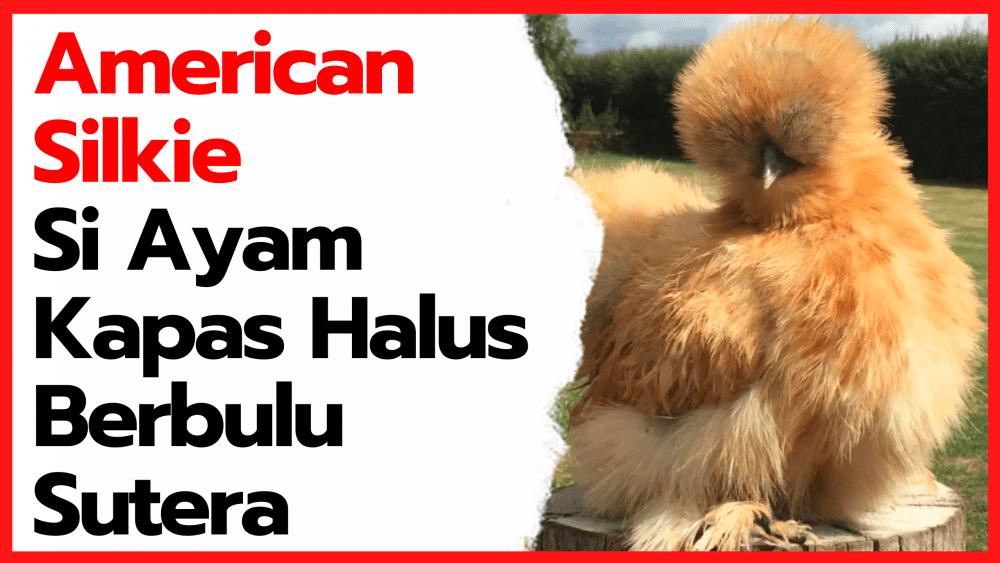 American Silkie Si Ayam Kapas Halus Berbulu Sutera