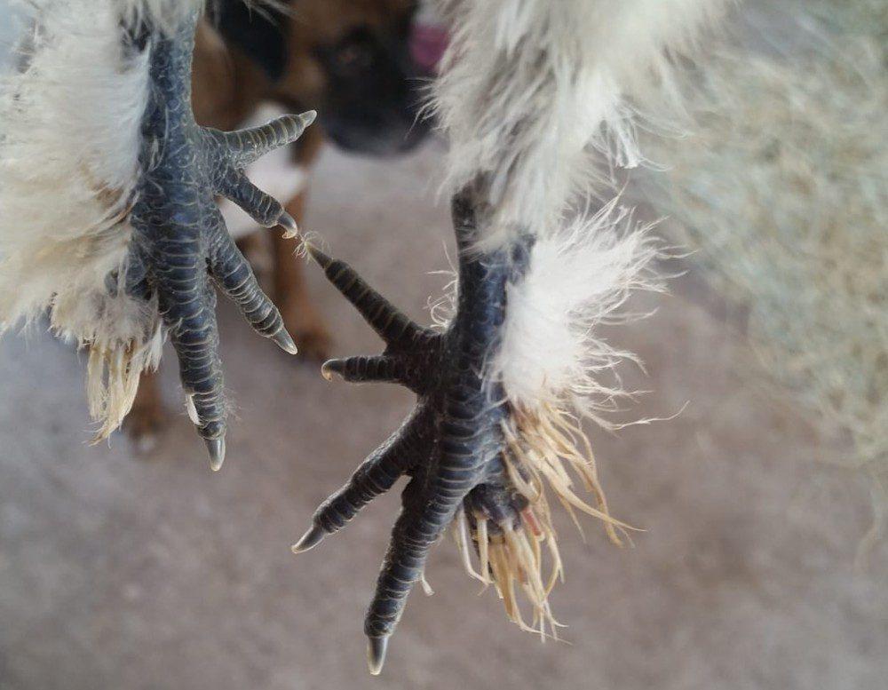 Jumlah jari kaki ayam american silkie yaitu 5, berbeda dengan ayam lainnya | Image 2