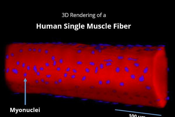 Representación 3D de una fibra muscular humana