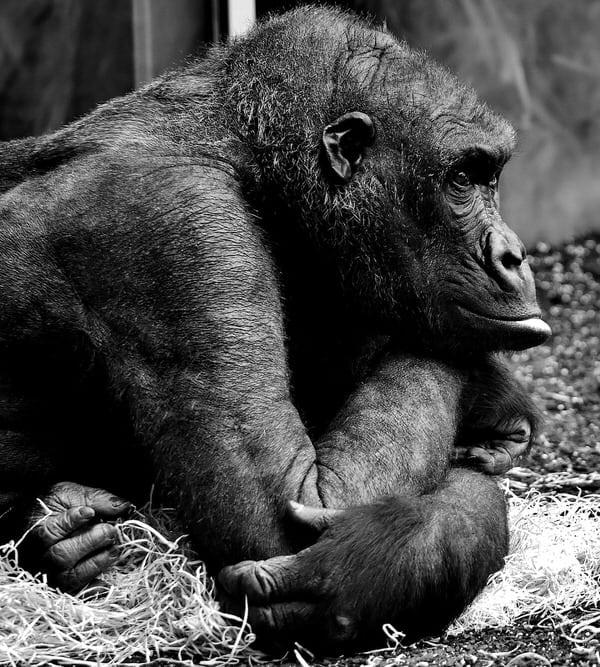 midlife loneliness+gorilla