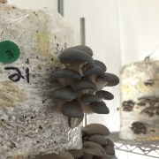 Blue oysters fruiting from a kit