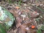 Cantharellus cinnabarinus