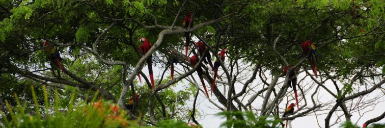 A flock of Scarlet Macaws at Playa Esterillos. They are seen from Orotina down down to Playa Esterillos