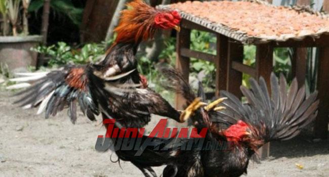 Cara Mengetahui Ciri-Ciri Sabung Ayam Siap Di Adukan