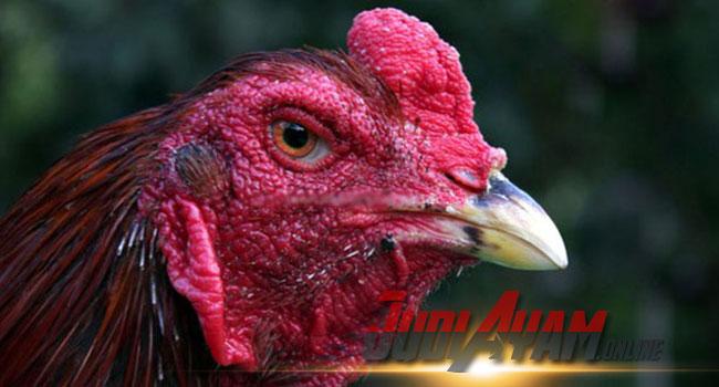 Cara Mengobati Paruh Ayam Sabung Yang Patah Saat Bertarung