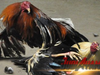 Suplemen Dan Pakan Utama Untuk Ayam Bangkok Aduan