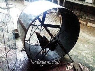 Tips Melatih Ayam Bangkok Aduan Dengan Benar
