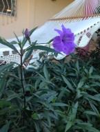 Brazilian Poppy